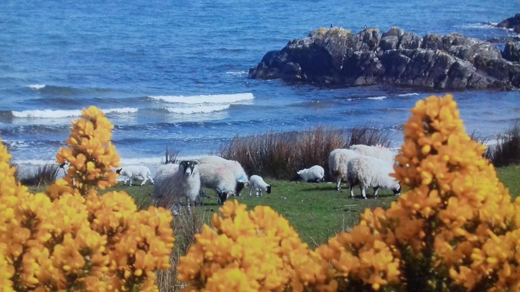 mouton genets